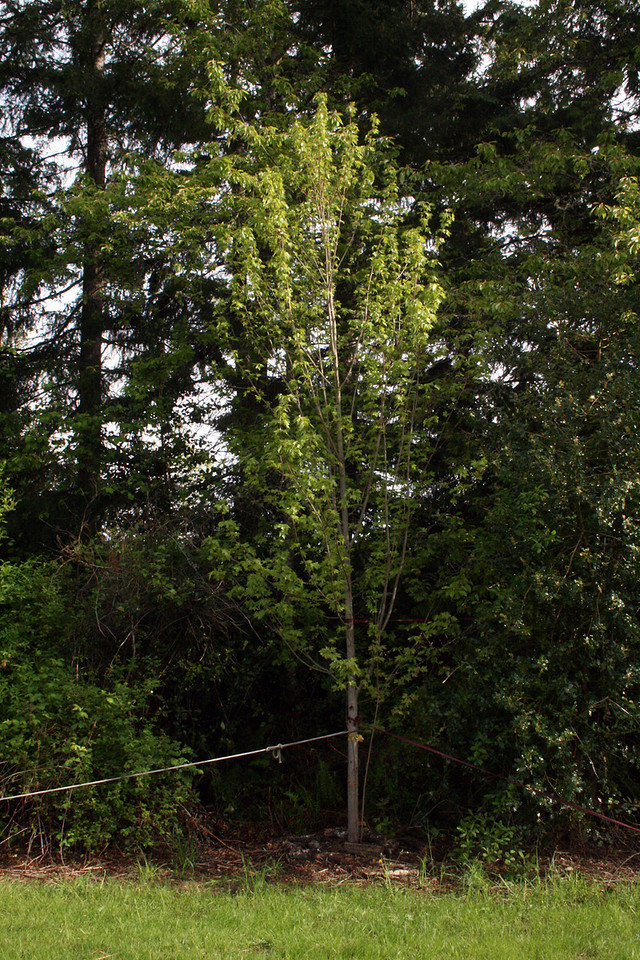 This is the 20' Acer Maple that John & Monica came out to help with back in February of 2010.  It is very happy.