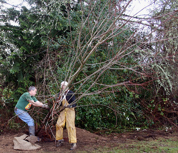 John & Bernie hoist the beast into position.  This is rare.  I do not normally get people to help me move trees around.  I know what kind of abuse to give myself but i never want to dish it out to others.  I'm very thankful.