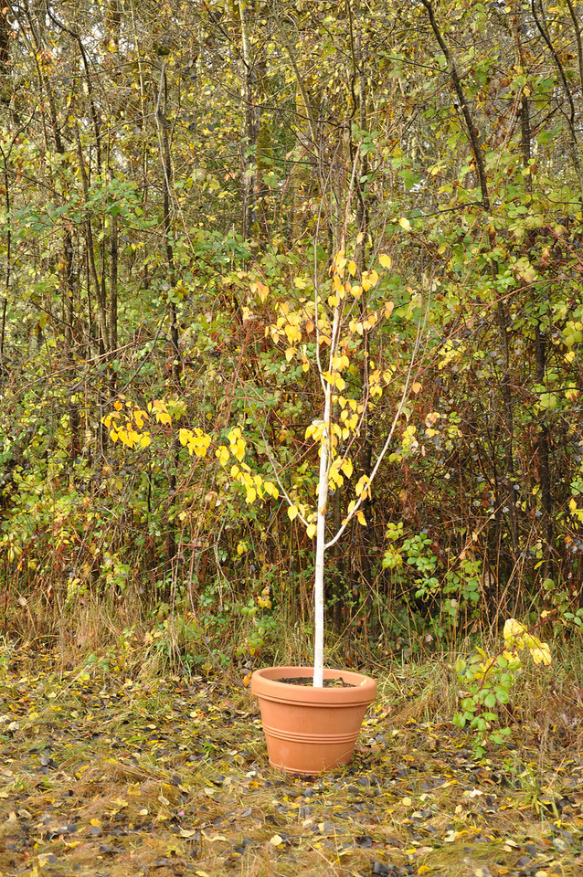 10 / 2012 White Birch from Michelle's friend Dianne.