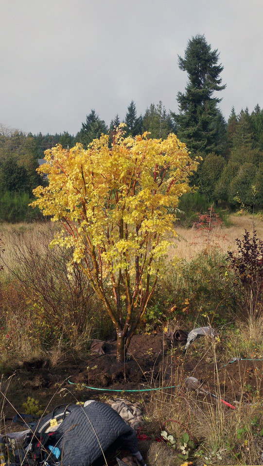 10/18/12  Coral Bark Maple.  Looking Northwest.