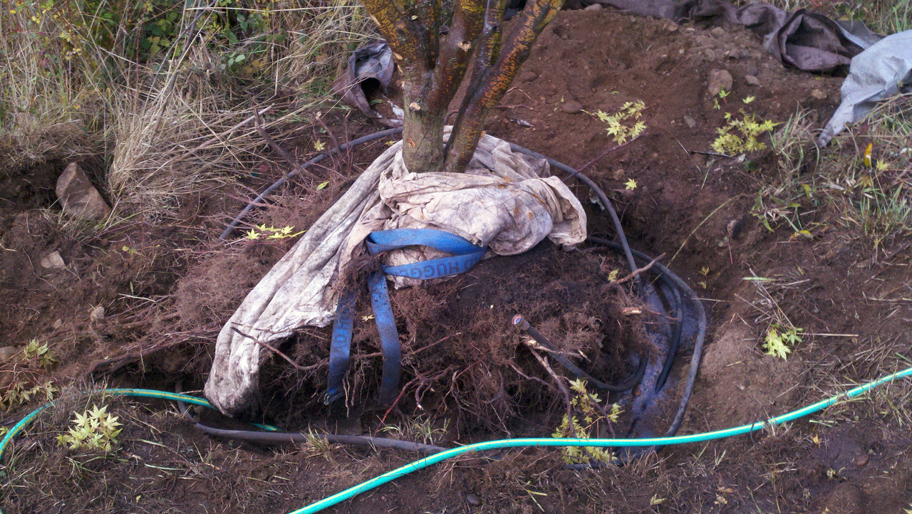 10/18/12  Coral Bark Maple.  The hole.  5'  X 4'  2.5' Deep.  Rocky, Clay and lots of grass and rosebush roots.  I put a soaker hose into the ground with this tree.  Just hook it up and let it run.  The white tarp I used as a big pad for when we lifted it a day earlier and the blue strap is what I attached the come-along to.