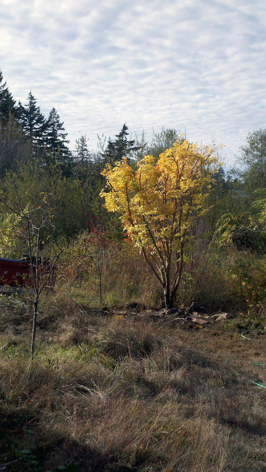 10/18/12  Coral Bark Maple.  Looking Southwest.