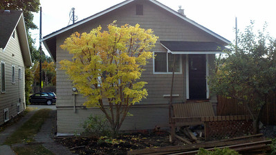 10/16/12  Coral Bark Maple.    You can see the scale of the tree here.  Almost 12' Tall.  The rootball will make this another 3' taller.  The driveway... both mirrors o my truck touched each house!  Very well groomed and taken care of for years. Remodeling will cause this tree to have to move. The owner found a new home through Plant Amnesty and the homeowner called me.