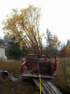10/18/12  Coral Bark Maple.  Almost there.