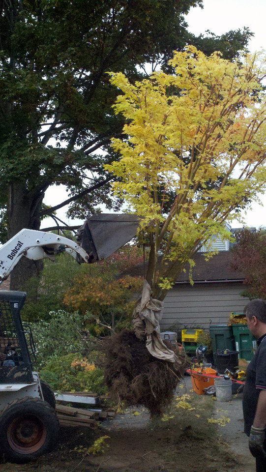 10/17/12  Coral Bark Maple.  The Contractor/Excavator offered to dig out the trees (the other was an apple tree R.I.P.) and load them into my truck. This is literally HOURS of BACK BREAKING work and challenges.  Looking back.  No Way I could have gotten this tree out of their way quickly.  THANK YOU TOM, MR EXCAVATOR and VANESSA!!!  Typically I do all of this without any power tools.  Shovel, pickaxe and pry bar.   I'm going to have to really get a tractor...  From this lift I backed right under the tree with my tailgate down.  Then they just lower the tree.  This took a total of about 30 - 45 min.  This rootball is about 300 lbs.  I need a tractor/bobcat.