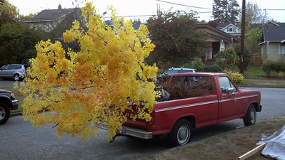 10/17/12  Coral Bark Maple.  Nice Flower!     My trailer is being occupied by three other large trees.  This is a heavy rootball.