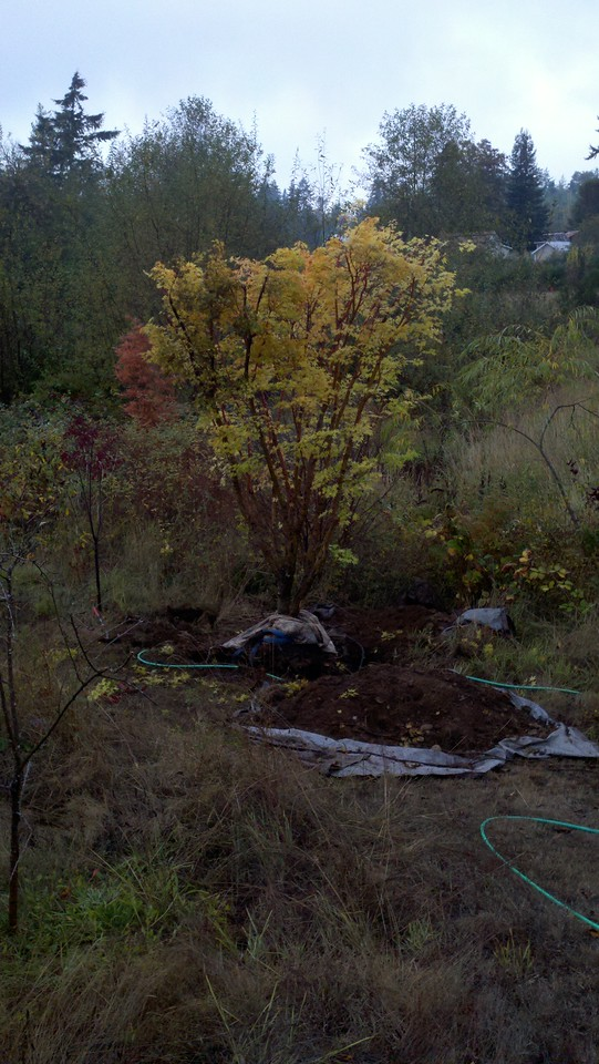 10/18/12  Coral Bark Maple.  We're In!!!