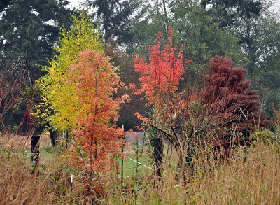 Bald Cypress in the foreground (Orange), Yellow leaves on a Birch just behind.  Maple in ful red to the right and behind.  On the far right my prize Cryptomeria Japonica Elegans.