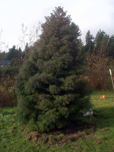Cryptomeria Japonica Elegans  _ My Prize tree.  Turns reddish purple in the winter and sage green in summer.  Always looks spectacular after a rain.  Michelle absolutely loves this tree.  This is the big one to cross our fingers and hope that it makes it.  I need to get some other trees near it to shelter it.