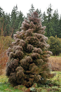 Cryptomeria Japonica Elegans  Michelle fell in love with this tree immediately.  You can see why with the rain the way it gathers on the branches.  This tree needs to be supported and likes to be up against other trees or rock walls.  They have a tendency to flop over hen getting bigger.  Snow and ice can easily snap branches so it has to be cleaned off pretty regularly in the winter.