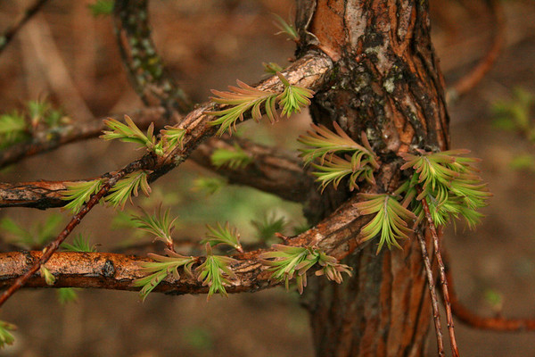 Deciduous Conifers