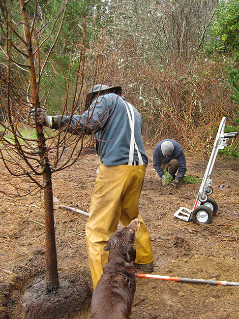 John gets help from Gwen planting some Dawn Redwoods.