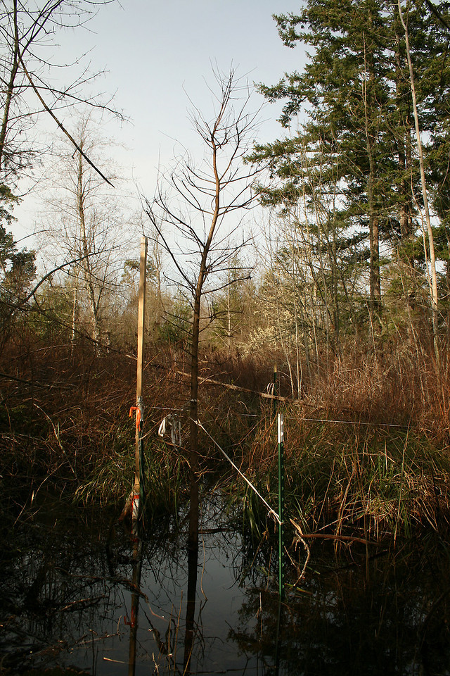 Planted this Bald Cypress in 2 feet of water.  They all love it there.  This is right at the corner.
