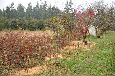 Looking Northwest.  There is a small Red Plum tree in front of the Coral Bark Maple that has to move. This whole plan makes me anxious for Spring and next fall.  Little building on the end is the Well House.  December 2012.