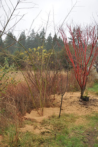 There is a small Red Plum tree in front of the Coral Bark Maple that has to move.   This whole plan makes me anxious for Spring and next fall.