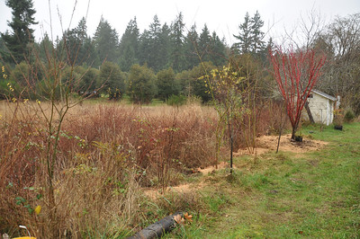 Looking Northwest.  There is a small Red Plum tree in front of the Coral Bark Maple that has to move. This whole plan makes me anxious for Spring and next fall.  (December 2012)