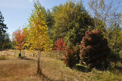 Yellow Birch in foreground,  Cryptomeria off to the side on the right and 2 maples in the background.