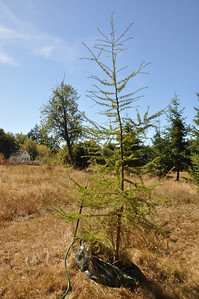 European Larch needs some extra help this summer with the Ooze Tube.