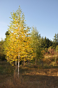 Yellow Birch...