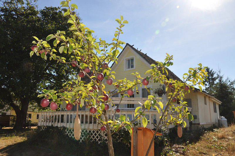 Spartan Apples at the front yard.  I planted this tree in memory of my father James F. O'Brien Jr.  in 2008.