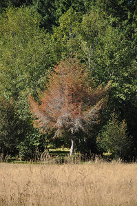 Douglas Fir.  Over the years this tree took a beating.  It was topped because there used to be a power line here.  Then 5 years ago the guy digging the trench for underground power hit the clay pipe that funnels water from the pond to the stream and now this area gets very wet.  Doug Firs do not like too much water.  I'm trying to grow Wisteria and Trumpet Vine here.  Hopefully a future home for a Owl House....