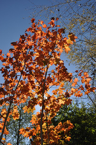 Vine Maple October 2012