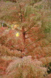 Cryptomeria Japonica Elegans October 14, 2012