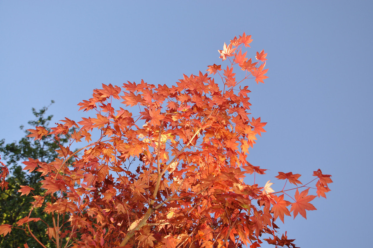 Pacific Vine Maple