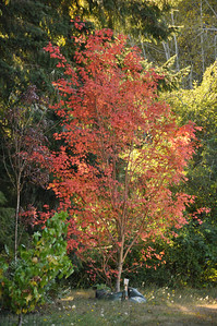 Pacific Vine Maple...