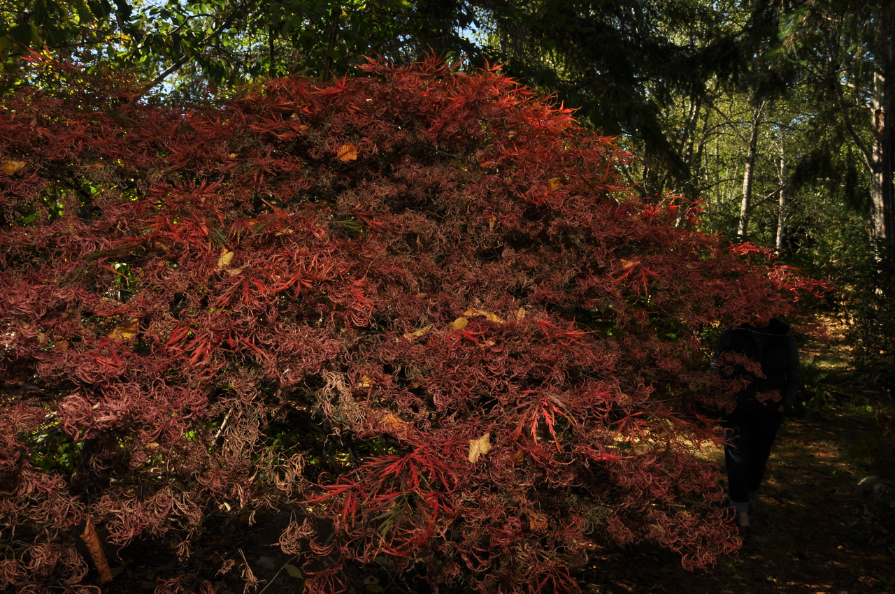 Yoda (Japanese Maple) looking rather stressed this year.