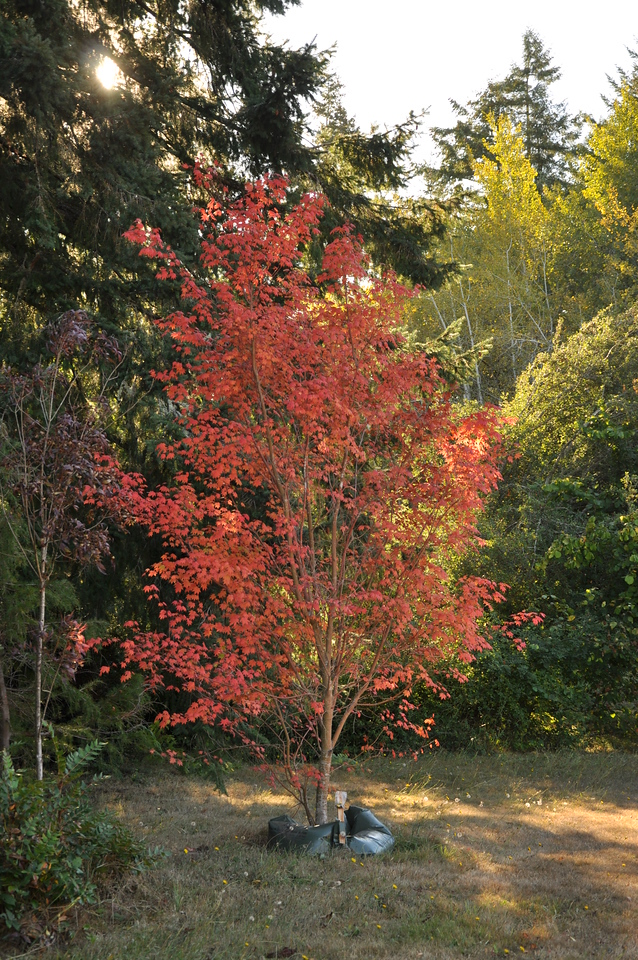 This Pacific Vine Maple has red bark and red leaves.