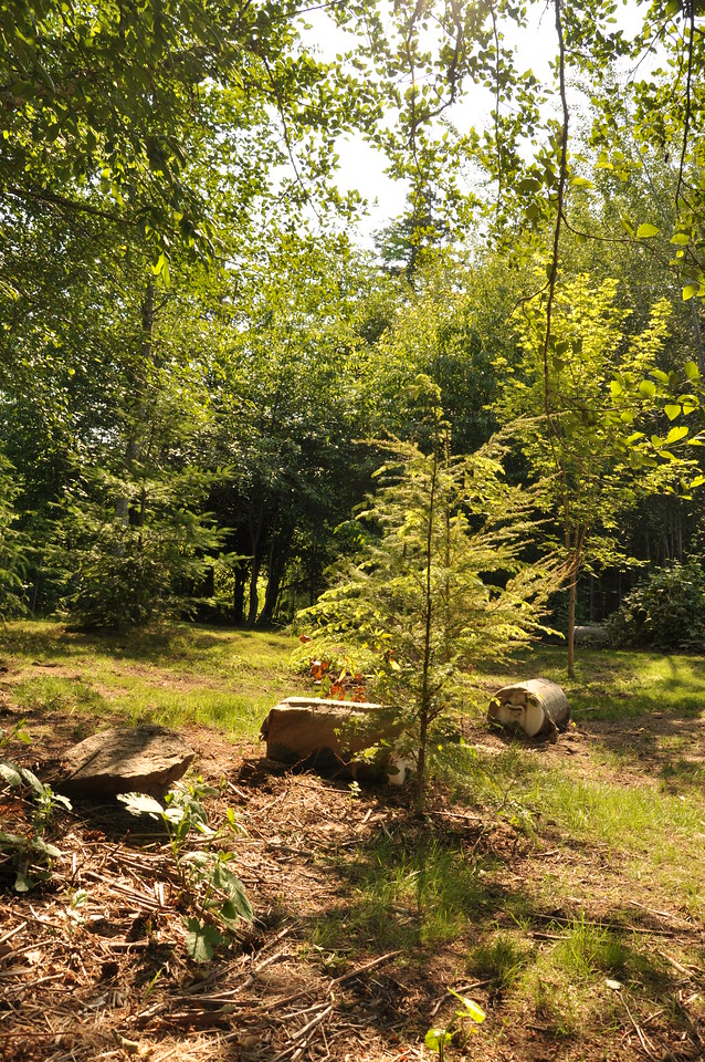 The plan here is to get the trees established, grow grass to choke out the blackberries and then add in as I go Oregon Grape, Oso Berry, Salal etc...