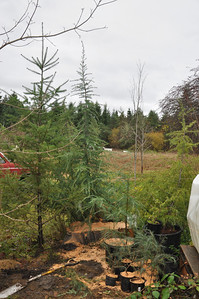 Deodara Cedar - 11/17/12 This one is about 8' - 10' tall. This and all the little ones came from a house in West Seattle where they were volunteers from the mother tree 106 years old... the homeowner has a photo when the house was built in 1906 with the little tree in front of it. Now the mother tree is home to a Great Blue Herron that has flattened out the top of the tree.