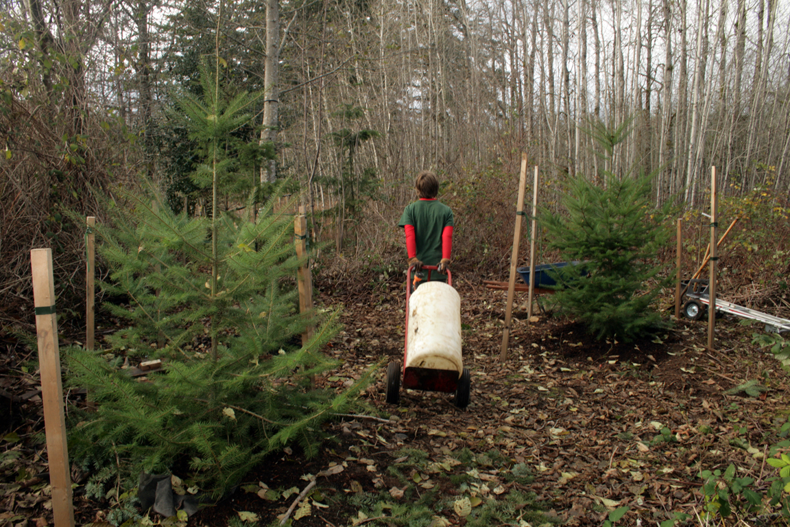 I would fill these barrels with water and truck them out to the trees.  Jack at 12 here does fantastic at maneuvering 160 lbs of water... all day.   This used to be all Blackberries and Scotch Broom that was dense and well over 8' tall.   With the success of over 60% of the trees making it I am inspired to save trees.