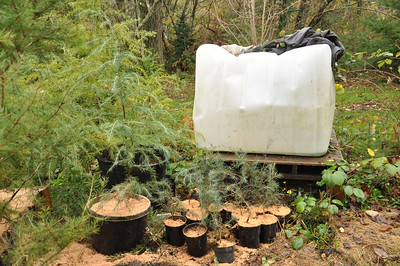 Irrigation System 250 Gallons- Salvaged from Hostess Factory where it held sweetener.  Deodaras in the foreground.    The sawdust will help protect them from the cold coming in December.