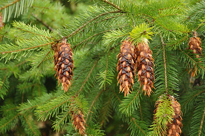 Doug Fir Cones.  They look like little crowns.