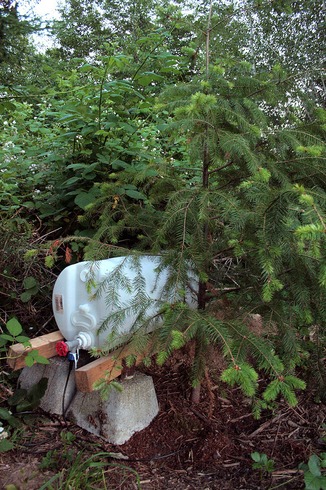 A replacement Doug Fir... Michelle found this one on the road side with a free sign attached.