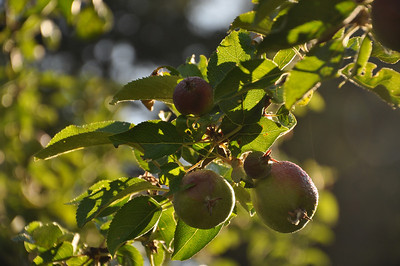 July 2012.  1st year of bees.  In the past 3 years of having this tree it has only produced 19 apples.  This Spring... over 50 apples on 1 branch.  Then the tent worms got to it.  I will still probably have about 100 apples this year.  Thank you trees, thank you bees.