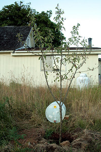 This lady called me back to check on the Mountain Ash Tree.  She asked if I wanted a Macintosh Apple Tree.  Putting a 55 gallon barrel out with 2 - 1/2 gallon drip per hour  I figured I had 27 hours of water... 3 1/2 weeks later in July it still had leaves.  I transplanted this in late June.... Don't do this.