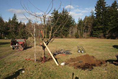 Digging the hole for the Gravenstein apple.