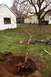 The Flowering Crab Apple gets a new home.  You can see a lot of the root system is gone but our fair winters are kind to tree root systems here.  You must dig the new home at the very least 2X the size of the root ball.  Loosen even more soil around and mix compost with the original soil...  add root hormone and water well.  I mean water so well that you flood the darn thing and the soil settles in around the root ball so that the air goes away.