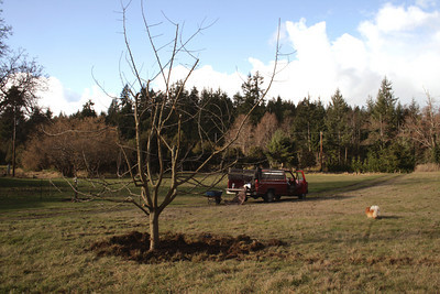 In less than 2 hours I got this gravenstein apple tree into the ground.  Once the tree is in the ground, the compost in, the mulch on top and the first watering with vitamin B1 I feel that the tree has stopped accelerating in stressing out.  Now it can go on the road to recovery.   At this point I can not express in words what a thrill I get.  To walk around this and imagine what it is and what it will be.
