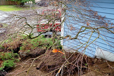 This tree was destined to be cut down.  The home owner put in a second story and the area here where the root ball is now has become a footing for the support beam.   I cut out the desired size of root ball I would like to have.  Most often I bite off more than I can chew.  I can always cut in and then the trench becomes wider and easier to work with.    The plan here is to pull the tree off of the hillside straight into the bak of the truck.