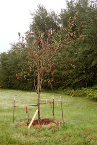 This Mountain Ash about killed me.  I got it free from this wonderful lady in Edmunds, WA.  I transplanted this in late Spring.  The journey almost killed it (the brown leaves) but it held on all summer enough to produce some new buds.  This hung off all sides of my pick up.  I could barely move it myself.  I dug a big hole and dropped it in off the truck.