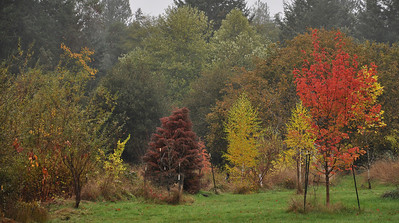 November 1, 2011  Looking to the Northwest  Left to Right:  Dark red is the Cryptomeria Japonica Elegans with a Bald Cypress just behind it to the right barely showing.  A few yellow Birches and then another Sunset Maple.