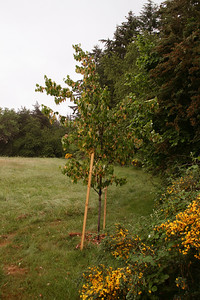 Okay so I still buy some trees.  This is a wonderful maple tree... can not remember right now.  Very Hardy.  There is Scotch Broom on the left.  I get rid of almost all of this stuff now.  Rip it up every chance I get.