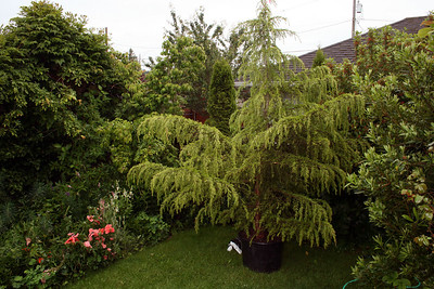 Early Spring 2010.  Cedrus Deodara. This did not have a good root ball to start with. I will need a lot of luck on this one.  It took over the whole yard.   12/2010 This one is actually doing very well these days.  This and one other both planted this spring took very easily.