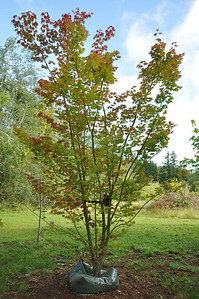 """May 2012  Pacific Vine Maple with an """"Ooze Tube"""".  This is the best form of watering I have found.  It takes 3 - 3 1/2 weeks to drain 25 gallons of water."""