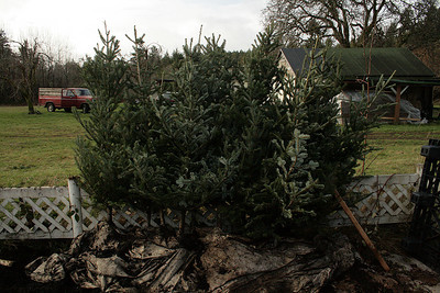 I bought these 13 Fraser Firs from a Christmas Tree farmer.  These will make a nice border in the back of the property.  They do not have a vertical tap root like the Douglas Firs making them easier to transplant at a later stage in life... not too much later.