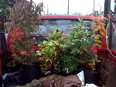 Father's Day.  Vine Maple's, Stewartia (3), Korean Fir.  Any trip to the farm involves a small load of trees or plants.